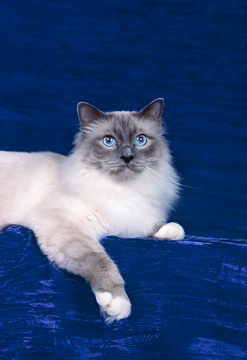 CAT 01 CH0031 01 © Kimball Stock Birman Blue Point Laying In Blue Studio
