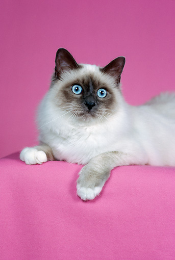 CAT 01 CH0032 01 © Kimball Stock Birman Blue Point Laying In Pink Studio