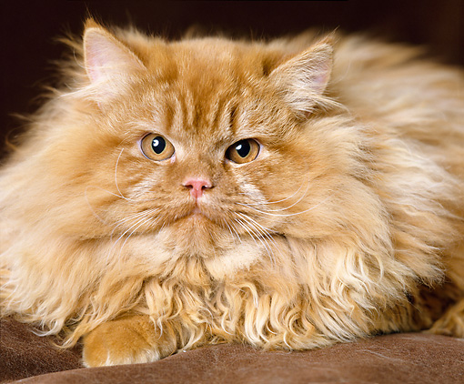 CAT 01 GL0006 01 © Kimball Stock Close-Up Of Red Persian Cat Laying On Cushion