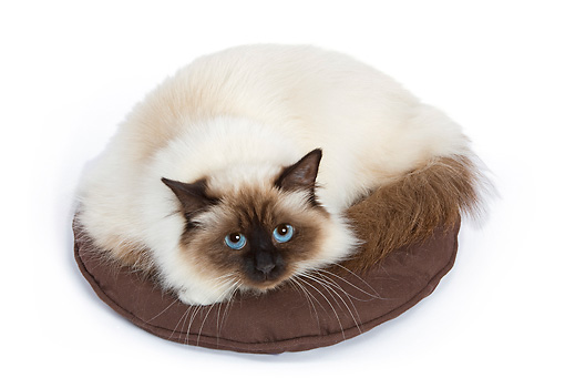 CAT 01 JE0006 01 © Kimball Stock Birman Cat Laying In Brown Cat Bed On White Seamless