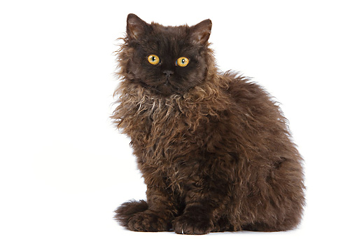 CAT 01 JE0009 01 © Kimball Stock Selkirk Rex Sitting On White Seamless