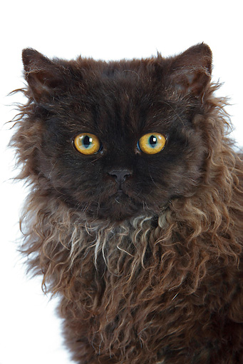 CAT 01 JE0010 01 © Kimball Stock Head Shot Of Selkirk Rex Sitting On White Seamless
