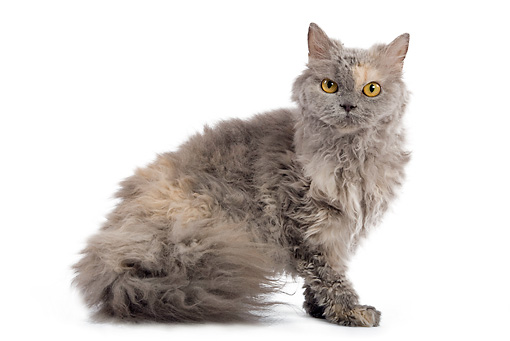 CAT 01 JE0011 01 © Kimball Stock Selkirk Rex Sitting On White Seamless
