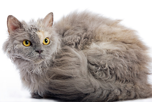 CAT 01 JE0012 01 © Kimball Stock Selkirk Rex Laying On White Seamless
