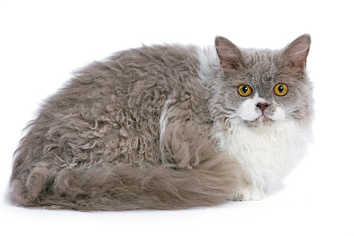 CAT 01 JE0013 01 © Kimball Stock Selkirk Rex Laying On White Seamless