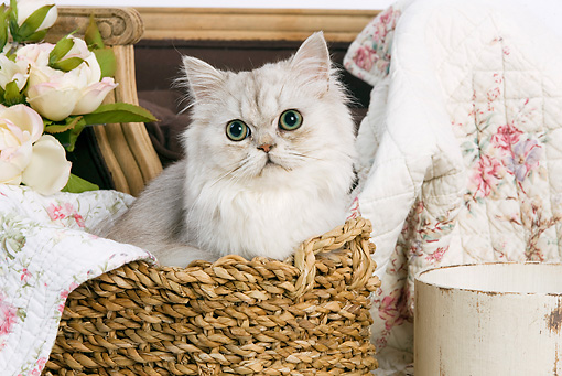 CAT 01 JE0014 01 © Kimball Stock Shaded Silver Persian Sitting In Basket