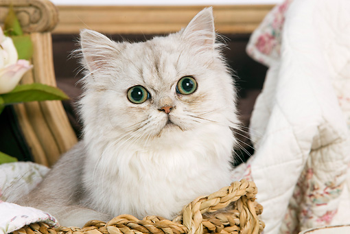CAT 01 JE0015 01 © Kimball Stock Shaded Silver Persian Sitting In Basket