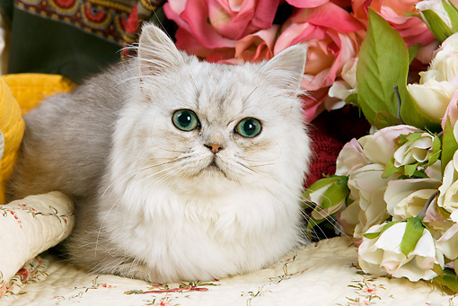 CAT 01 JE0016 01 © Kimball Stock Shaded Silver Persian Laying By Flowers