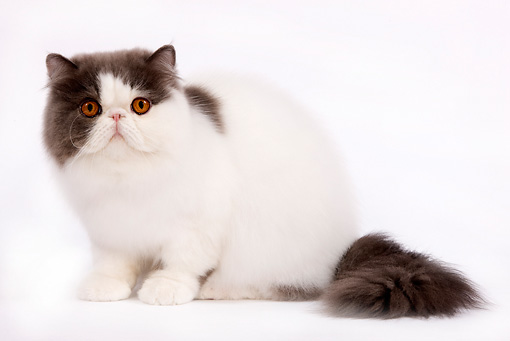 CAT 01 JE0045 01 © Kimball Stock Harlequin Persian Cat Sitting On White Seamless
