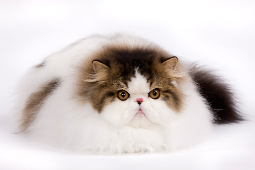 CAT 01 JE0046 01 © Kimball Stock Harlequin Persian Cat Laying On White Seamless