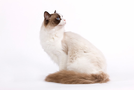 CAT 01 JE0047 01 © Kimball Stock Ragdoll Cat Sitting On White Seamless Looking Back