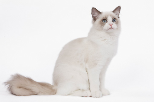 CAT 01 JE0050 01 © Kimball Stock Ragdoll Cat Sitting On White Seamless