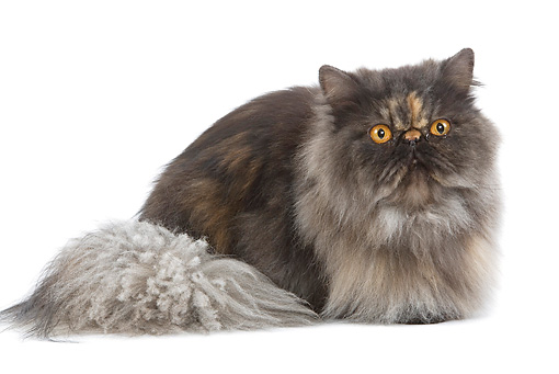 CAT 01 JE0058 01 © Kimball Stock Smoke Colored Tortie Persian Cat Laying On White Seamless