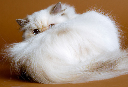 CAT 01 JE0074 01 © Kimball Stock Close-Up Of Himalayan Cat Curled Up
