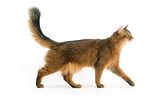 CAT 01 JE0076 01 © Kimball Stock Somali Cat Walking On White Seamless Profile