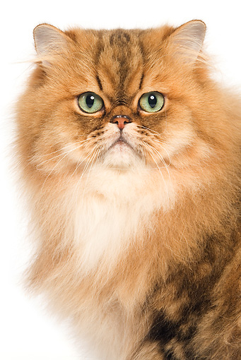 CAT 01 JE0085 01 © Kimball Stock Head Shot Of Golden Shaded Persian Cat On White Seamless