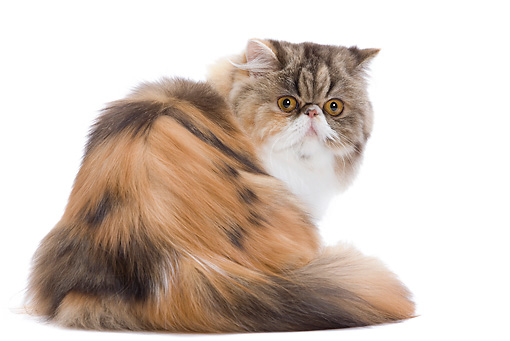 CAT 01 JE0093 01 © Kimball Stock Calico Persian Cat Sitting On White Seamless