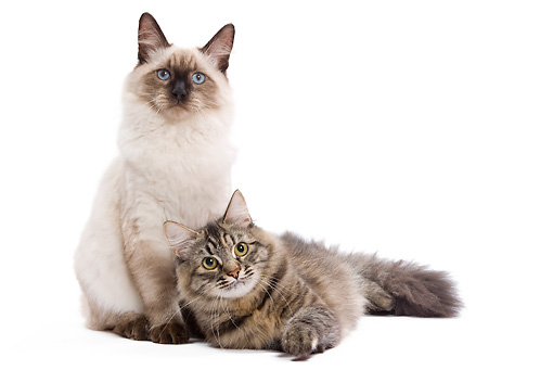 CAT 01 JE0096 01 © Kimball Stock Two Siberian Cats On White Seamless