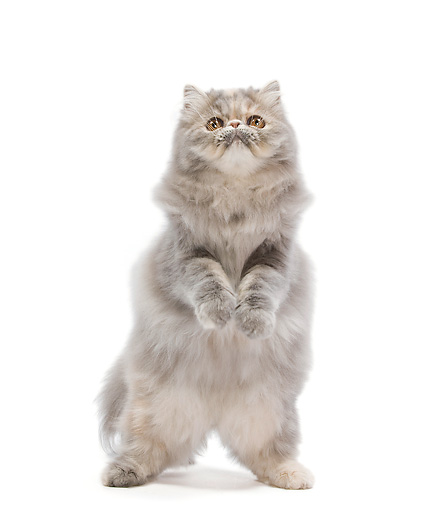 CAT 01 JE0098 01 © Kimball Stock Persian Cat Standing On Hind Legs On White Seamless