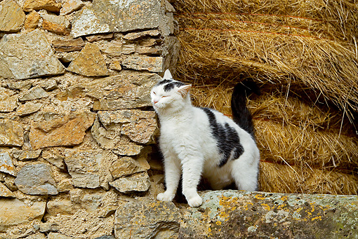 CAT 01 JE0100 01 © Kimball Stock Alley Cat Rubbing Against Stone Wall By Hay Bales