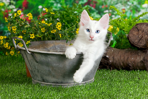 CAT 01 JE0103 01 © Kimball Stock Turkish Angora Sitting In Metal Bucket In Garden
