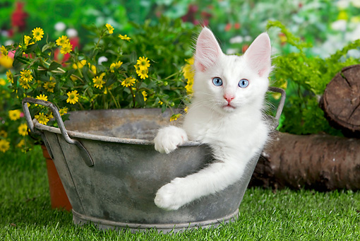 CAT 01 JE0105 01 © Kimball Stock Turkish Angora Sitting In Metal Bucket In Garden