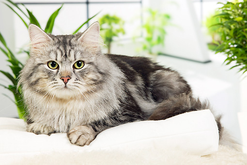 CAT 01 JE0106 01 © Kimball Stock Siberian Cat Laying On White Cushion By Plants