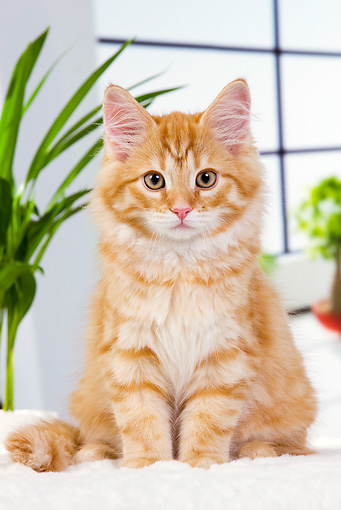 CAT 01 JE0108 01 © Kimball Stock Orange Siberian Cat Sitting On White Cushion By Plants