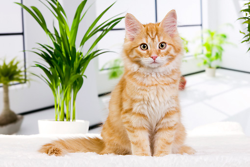 CAT 01 JE0109 01 © Kimball Stock Orange Siberian Cat Sitting On White Cushion By Plants