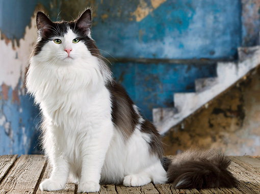 CAT 01 JE0113 01 © Kimball Stock Norwegian Forest Cat Sitting By Old Wooden Stairs