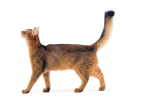 CAT 01 JE0116 01 © Kimball Stock Somali Cat Walking On White Seamless Profile