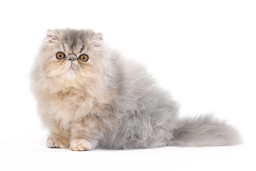 CAT 01 JE0125 01 © Kimball Stock Persian Cat Sitting On White Seamless
