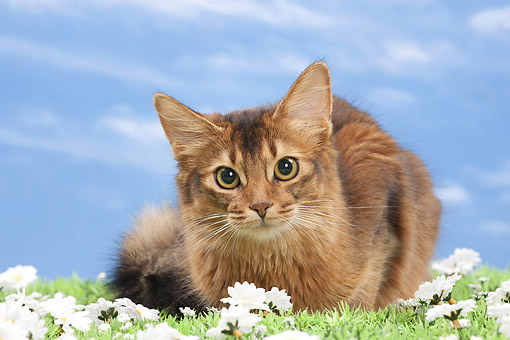 CAT 01 JE0135 01 © Kimball Stock Somali Cat Laying On Grass And Daisies