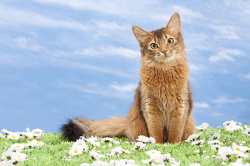 CAT 01 JE0136 01 © Kimball Stock Somali Cat Sitting On Grass And Daisies