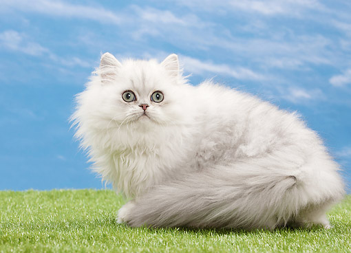 CAT 01 JE0139 01 © Kimball Stock Silver Shaded Persian Cat Sitting On Grass
