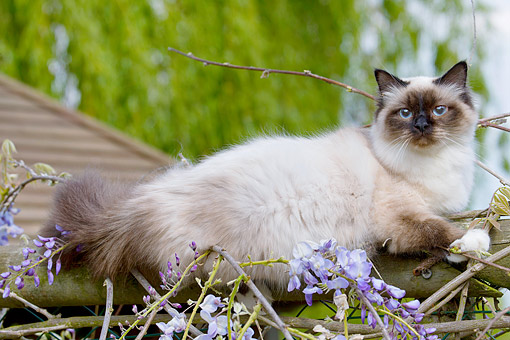 CAT 01 JE0142 01 © Kimball Stock Birman Cat Lounging On Fence