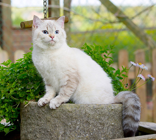 CAT 01 JE0144 01 © Kimball Stock Mixed Breed Cat Perched On Stone Planter In Yard