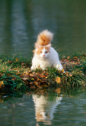 CAT 01 KH0042 01 © Kimball Stock Turkish Van Cat Standing By Water