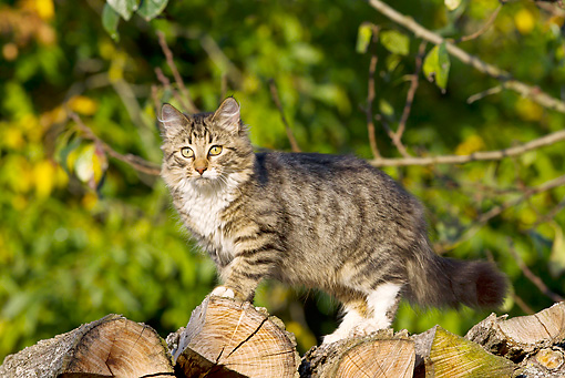 CAT 01 KH0044 01 © Kimball Stock Young Tabby Cat Walking Along Woodpile In Autumn