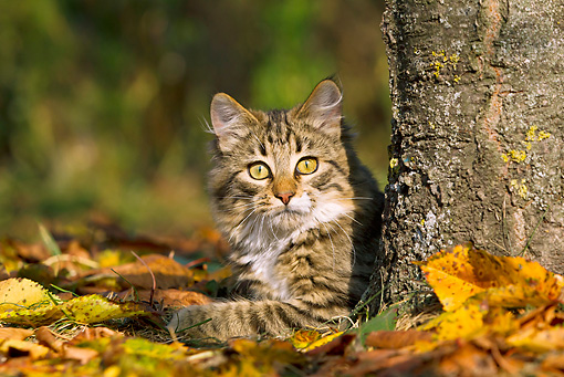 CAT 01 KH0048 01 © Kimball Stock Young Tabby Cat Resting By Cherry Tree In Autumn