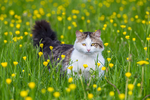 CAT 01 KH0050 01 © Kimball Stock Tabby And White Cat Standing In Meadow France