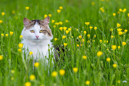 CAT 01 KH0051 01 © Kimball Stock Tabby And White Cat Sitting In Meadow France