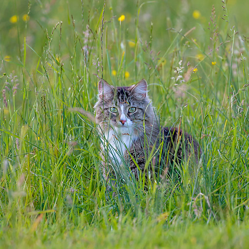 CAT 01 KH0053 01 © Kimball Stock Semi-Longhair Tabby And White Cat Sitting In Meadow
