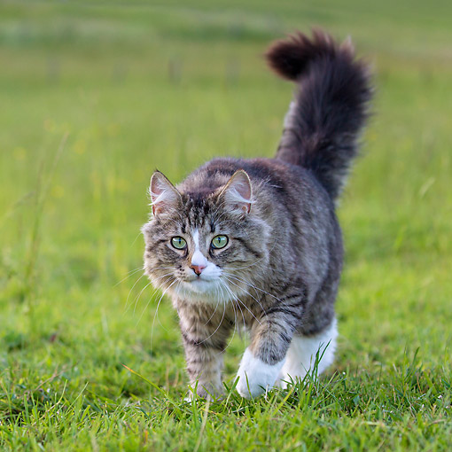 CAT 01 KH0054 01 © Kimball Stock Semi-Longhair Tabby And White Cat Walking In Meadow