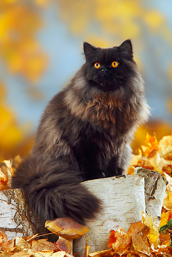 CAT 01 PE0003 01 © Kimball Stock British Longhair Cat Sitting On Stump By Fallen Leaves