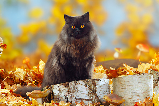 CAT 01 PE0004 01 © Kimball Stock British Longhair Cat Sitting On Stump By Fallen Leaves