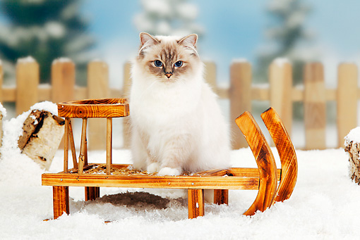 CAT 01 PE0006 01 © Kimball Stock Birman Blue Point Cat Sitting On Sled In Snow
