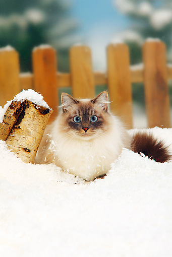 CAT 01 PE0007 01 © Kimball Stock Neva Masquerade Siberian Cat Laying In Snow By Fence
