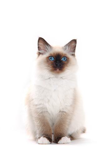 CAT 01 PE0008 01 © Kimball Stock Birman Blue Point Sitting On White Seamless