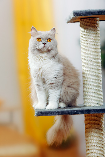 CAT 01 PE0010 01 © Kimball Stock British Longhair Cat Sitting On Cat Post